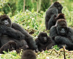 mountain-gorilla-ARTICLE-PAGE